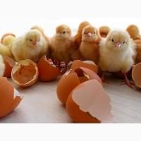 Продам куриное инкубационное яйцо Фокси Чик