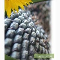 Семена подсолнечника Одесский-123