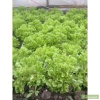 Продам: салат кустовой фристина опт, купить: салат кустовой фристина опт.  АР Крым.
