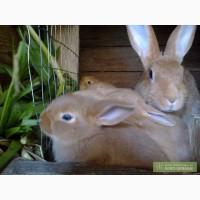 Кролики мясной породы - Бургундцы