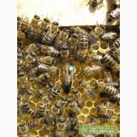 Бджолині плідні (мічені) матки карпатської бджоли. Бджолопакети