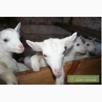 Молодняк, заанеские козы