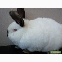Калифорнийские кролики, Рекс Шиншиловый