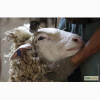Продам овечью шерсть