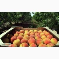Лотки для персиков, ящики для персиков, тара для персиков