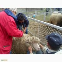 Куплю шерсть овечью, меринос, кросбред, цигай
