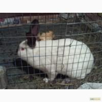 Продам, обменяю кроликов