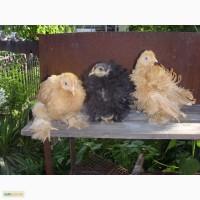 Цыплята Кохинхин карликовый