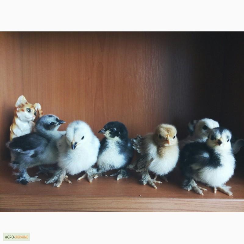 цыплята кохинхинов расцветки фото могут увидеть