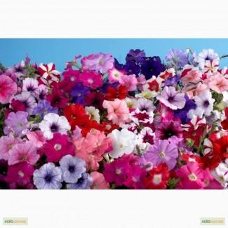 Петуния, продам цветы