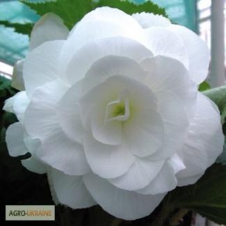 Продам семена Бегония Белая крупноцветковая F1