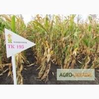 Семена кукурузы венгерской Вудсток Гибрид ТК 195 - ФАО 230