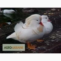 Утки мандаринки белые, бежевые