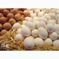Інкубаційне яйце птиці