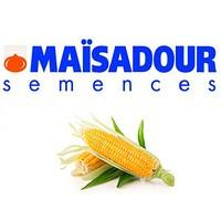 Насіння кукурудзи Маїсадур Семанс, Maisadour semences Франція, Мас 12.Р, Амеліор, ВАСИЛІЙ