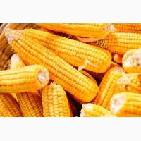 Подольский274СВ гибрид кукурузы продам