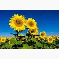 Насіння соняшнику толерантне до євро-лайтнінгу / високоурожайне / безкоштовна доставка /