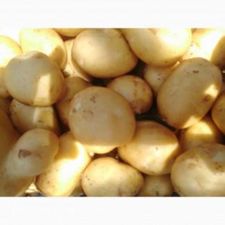 Продам товарный картофель, сорт Ривьера