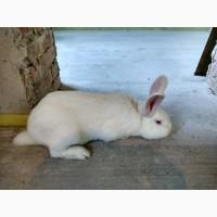 Кроленята. Продам кролі Термонської породи