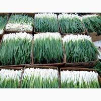 Продам зеленый лук большие обьемы