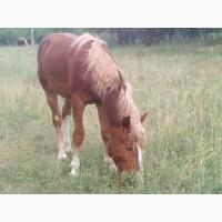 Продам лошадь(мальчик)