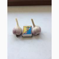 Продам семенной чеснок Любаша 3-4, 5 см. 27 грн