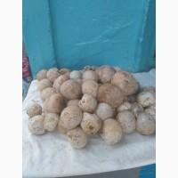Продам свiжий гриб веселка