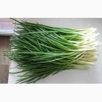 Куплю лук перобзелена цибуля