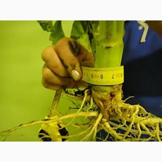 Семена рапса CHILKAT FS – 199 канадский озимый гибрид
