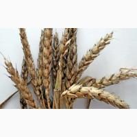 Закупка проблемної пшениці