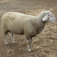 Племенные овцы породы Мериноландшафт