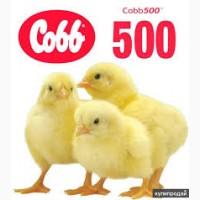 Иинкубационные яйца КОББ500 от элитных европейских производителей, пробиотики