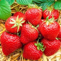 Полуниця Хоней (Honeoye Strawberry) саджанці полуниці Фріго