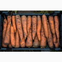 Продам Морковь оптом есть обьемы