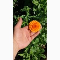 Сухі квіти календули