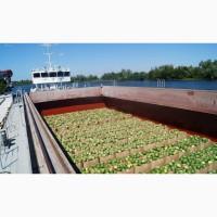 Продам 22 тонны арбузов херсонских в Киеве