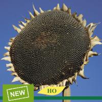 Семена подсолнечника Эверест высокоолеиновый