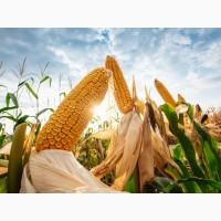 Продам семена кукурузы