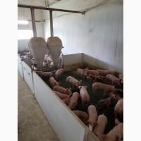 Поросята мясные 3х породный гибрид с комплекса разных весовых категорий от 40 гол