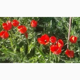 Продам саженцы тюльпана крупноцветкового