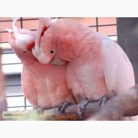 Какаду-гала или розовый какаду - полностью ручные озорные попугайчики