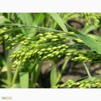 Семена проса желтого - сорт- «Харьковское-31»