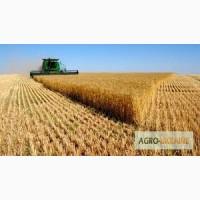 На постоянной основе закупаем пшеницу фураж и 3 кл по Винницкой обл