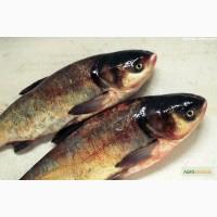 Рыбная компания реализует охлаждённую речную рыбу