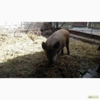Продаж поросят породи Свиня дика звичайна