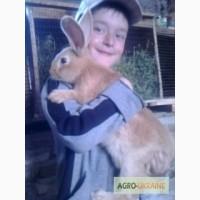 Продам кроликов бургундской породы. Чистая линия