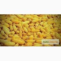 Посевной материал Кукуруза Афина Оргинатор Семанс Франция Урожайность до 140 ц