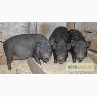 В єтнамські свині (вьетнамские свиньи)