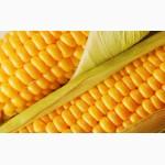 Закупаем ячмень, кукурузу, пшеницу оптом, Украина