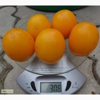 Насіння помідорів власного вирощування